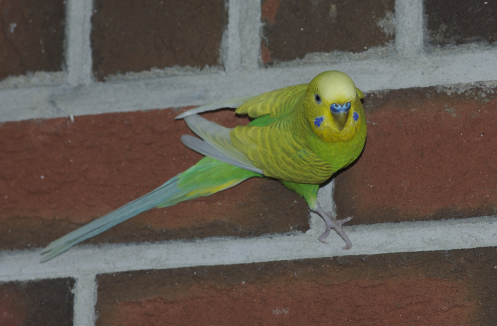A pair of breeding domestic budgies, Spring 2004, Victoria
