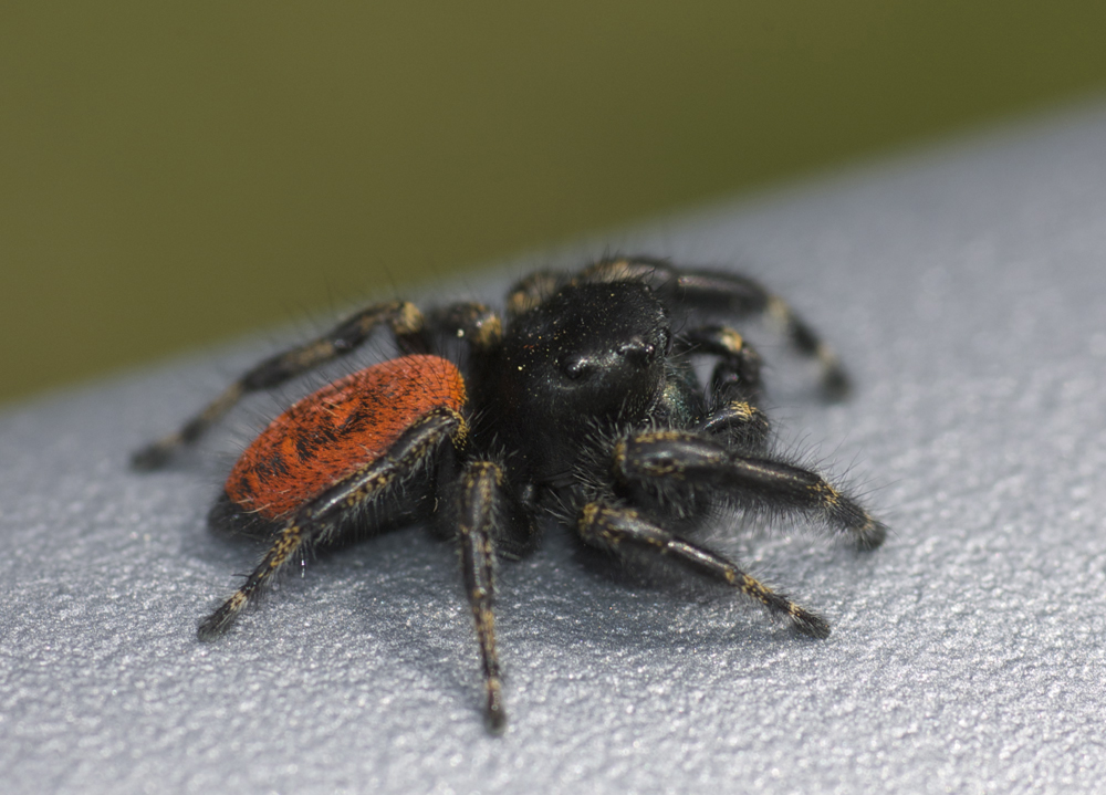 Black jumping spider with red dot - photo#15
